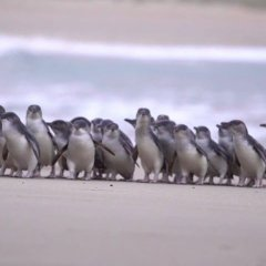 Catch all of the cuteness of Phillip Island's Penguin Parade via the park's live stream
